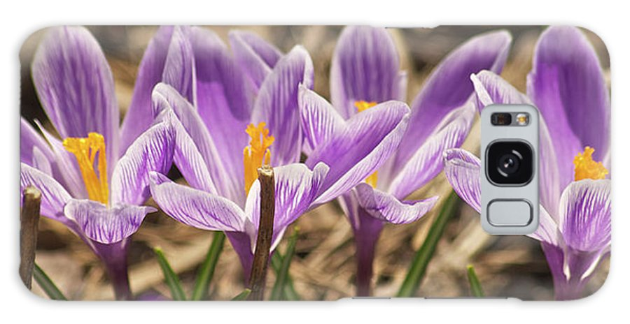 Crocus Galaxy S8 Case featuring the photograph Crocuses 2 by Michael Peychich