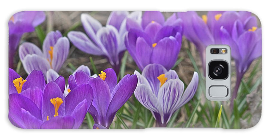 Crocus Galaxy S8 Case featuring the photograph Crocuses 3 by Michael Peychich