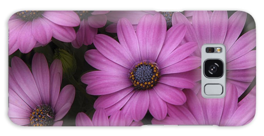 Nature Galaxy S8 Case featuring the photograph Daisies In Dakota by Ches Black