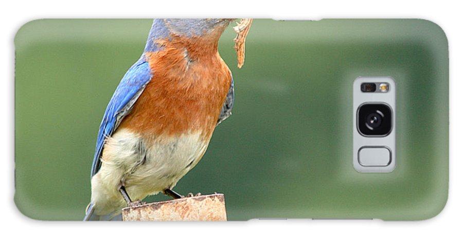 Bluebird Galaxy S8 Case featuring the photograph Eastern Bluebird With Caterpillar Lunch by Max Allen