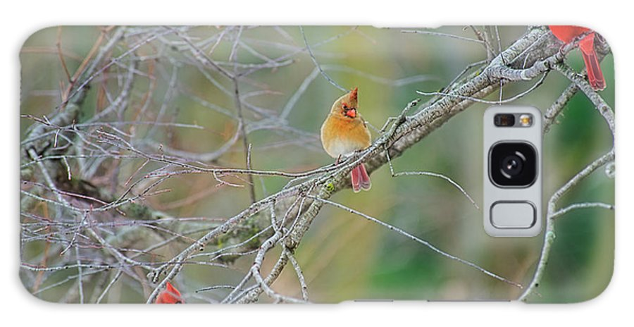 Cardinals Galaxy S8 Case featuring the photograph Female Cardinal And Friends by David Arment