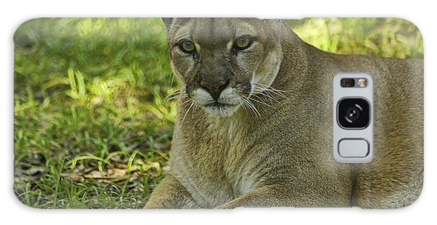 Panther Galaxy S8 Case featuring the photograph Florida Panther by Keith Lovejoy