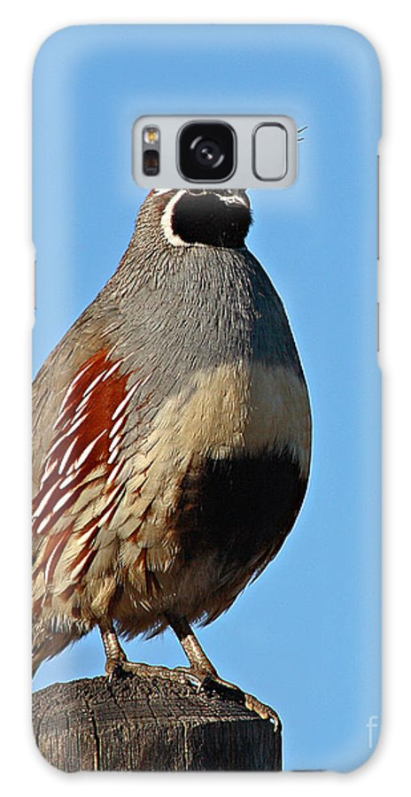 Quail Galaxy S8 Case featuring the photograph Gambel's Quail On Sunny Perch by Max Allen