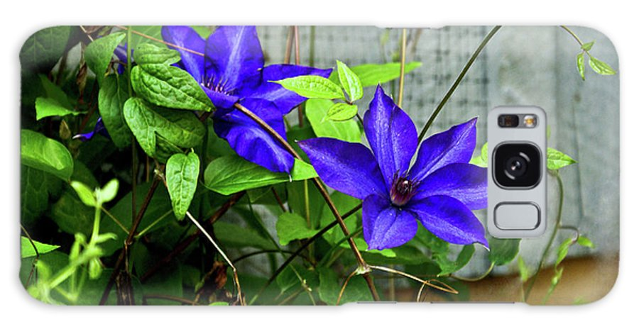Clematis Galaxy S8 Case featuring the photograph Giant Blue Clematis by Douglas Barnett