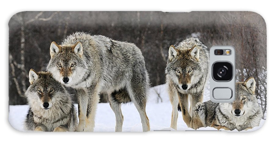 Mp Galaxy Case featuring the photograph Gray Wolves Norway by Jasper Doest