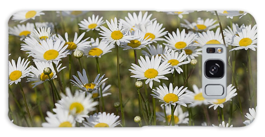 Oxeye Daisies Galaxy S8 Case featuring the photograph He Loves Me Daisies by Kathy Clark