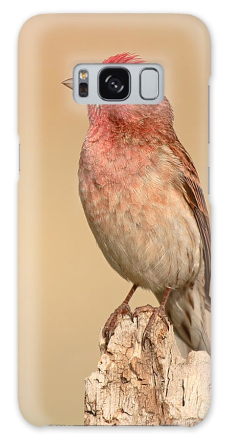 Finch Galaxy S8 Case featuring the photograph House Finch With Crest Askew by Max Allen