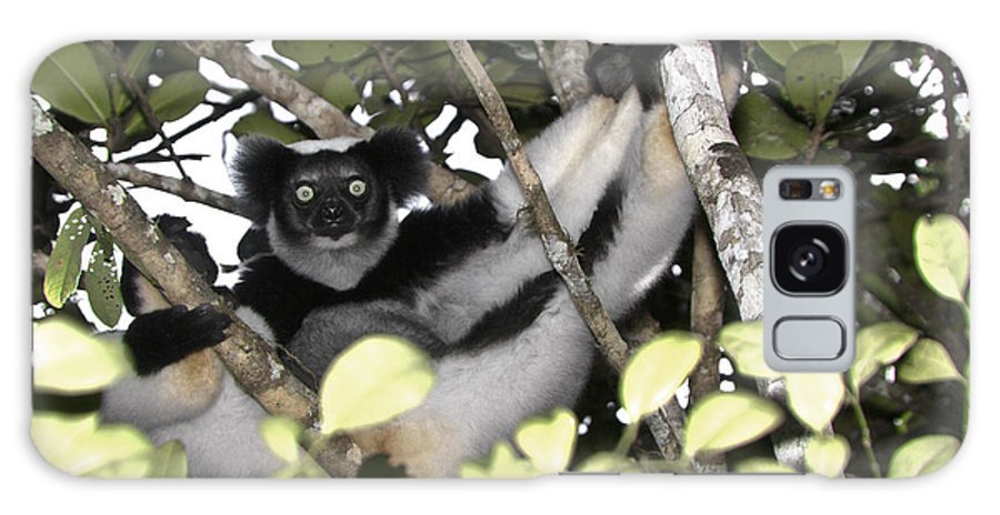 Madagascar Galaxy S8 Case featuring the photograph Indri Indri by Michele Burgess
