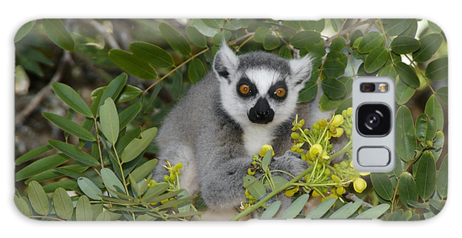 Madagascar Galaxy S8 Case featuring the photograph Little Ring-tailed Lemur by Michele Burgess
