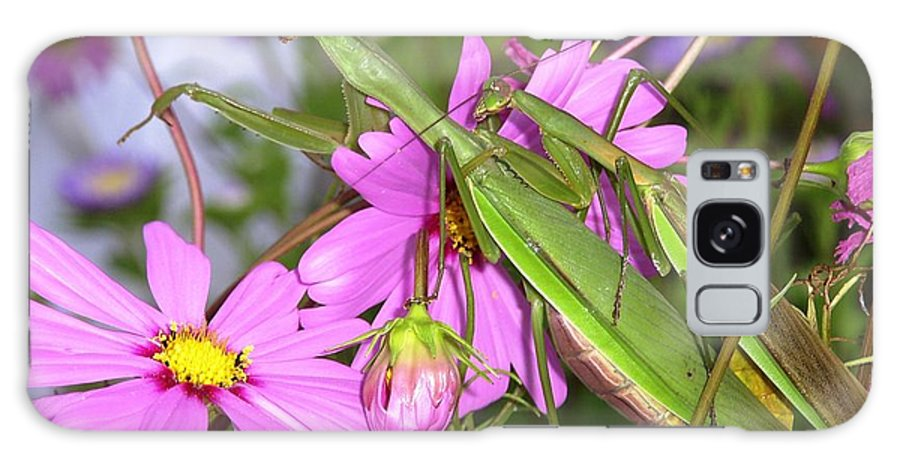 Preying Praying Mantis Cosmos Mating Mates Flower Insect Bug Nature Green Pink Galaxy Case featuring the photograph Mantis Mates In The Cosmos by Sam Klingensmith