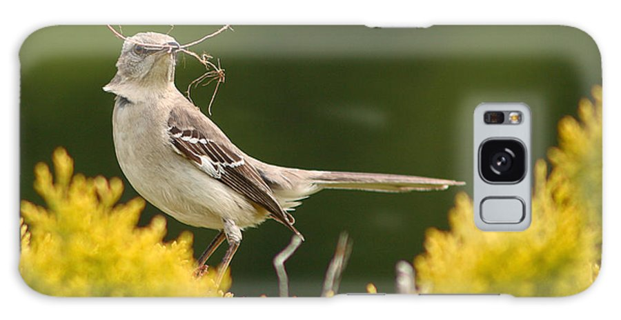 Mockingbird Galaxy Case featuring the photograph Mockingbird Perched With Nesting Material by Max Allen