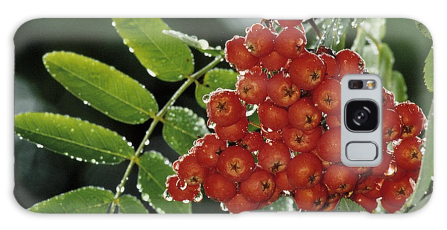 Mountain Ash Galaxy Case featuring the photograph Mountain Ash Berries In Rain by Steve Somerville