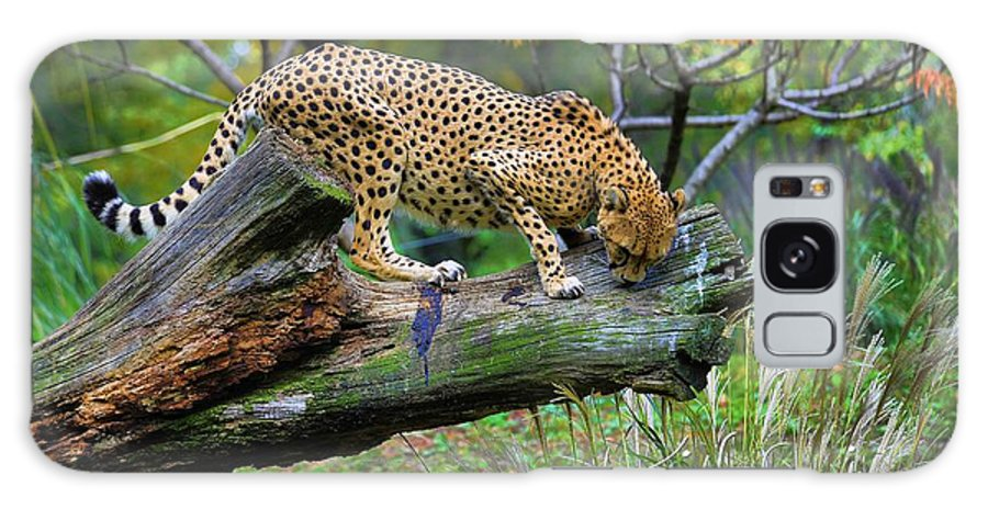 Cheetah Galaxy S8 Case featuring the photograph On The Prowl by Keith Lovejoy