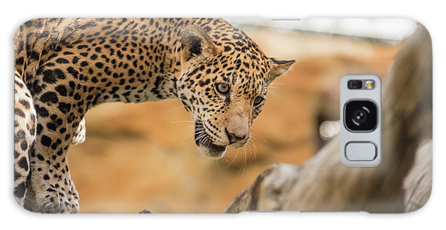 Big Cat Galaxy S8 Case featuring the photograph On The Prowl by Kristopher Schoenleber