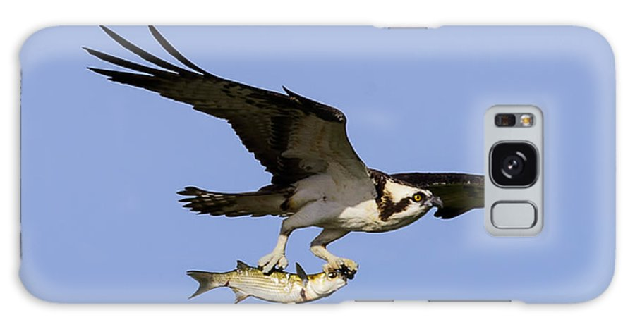 Accipitridae Galaxy S8 Case featuring the photograph Osprey And Catch by Steve Samples