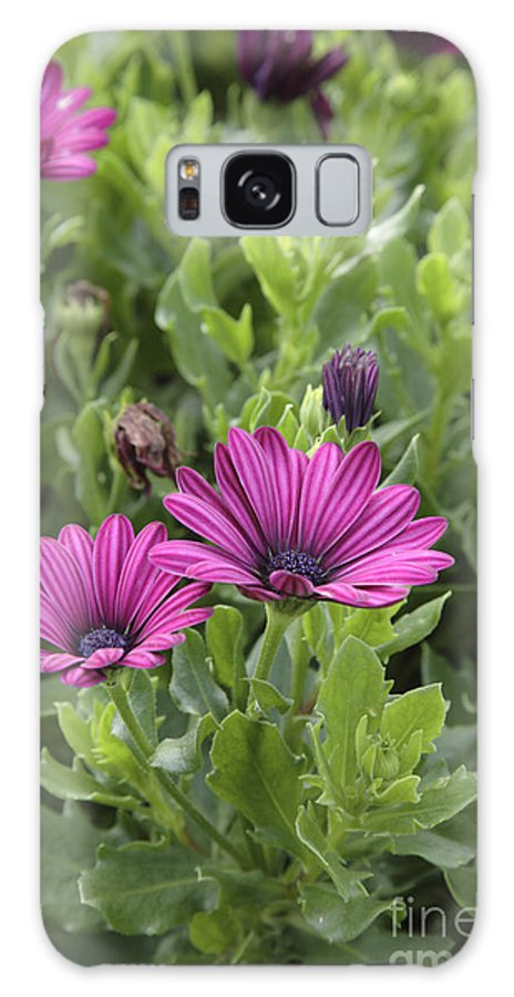 New England Galaxy Case featuring the photograph Osteospermum Flowers by Erin Paul Donovan