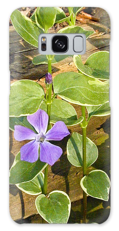 Periwinkle Galaxy S8 Case featuring the photograph Periwinkle by Douglas Barnett