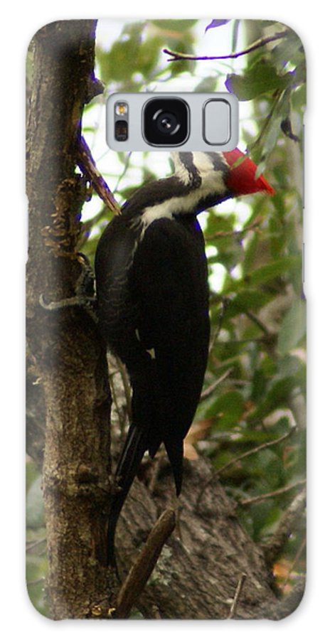 Bird Galaxy S8 Case featuring the painting Pileated Woodpecker by Debbie May