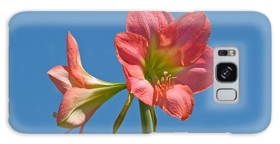 Hippeastrum; Amaryllidaceae; Belladonna; Lily; Amaryllis; Flower; Flowering; Plant; Bulb; Pot; Garde Galaxy S8 Case featuring the photograph Pink Amaryllis Flowering In Spring by Allan Hughes