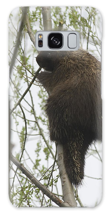 Porcupine Galaxy S8 Case featuring the photograph Porcupine In A Tree by Steve Somerville