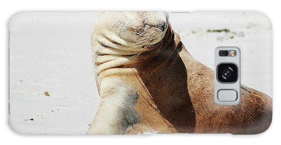 Sea Lion Galaxy S8 Case featuring the photograph Poser by Douglas Barnard