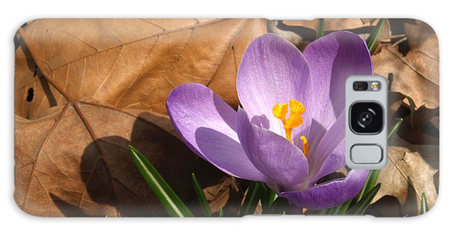 Flower Galaxy Case featuring the photograph Purple Crocus In Dried Leaves by Anna Lisa Yoder