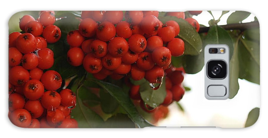 Pyracantha Galaxy S8 Case featuring the photograph Pyracantha Berries In December by Anna Lisa Yoder