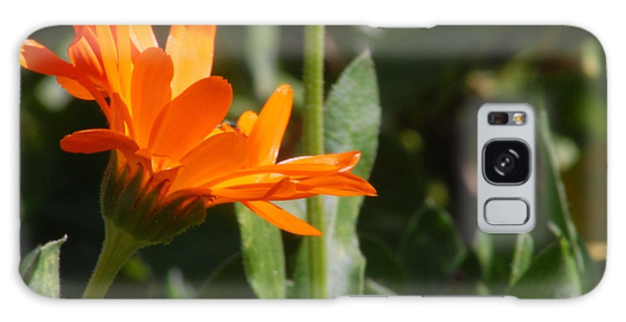 Orange Daisy Galaxy Case featuring the photograph Reach For The Sun 2 by Amy Fose