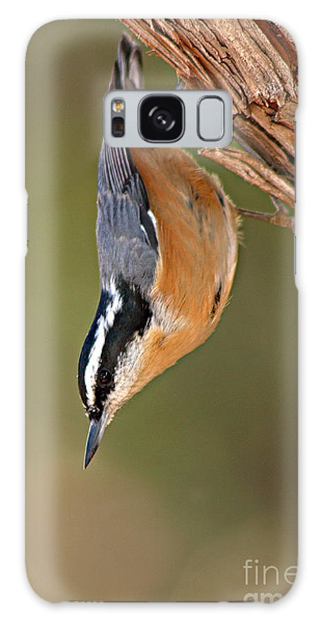 Nuthatch Galaxy Case featuring the photograph Red-breasted Nuthatch Upside Down by Max Allen