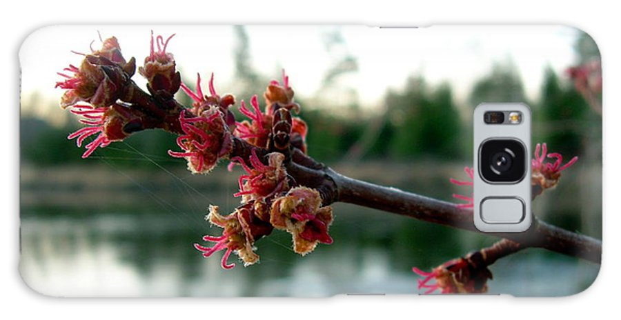 Maple Buds Galaxy S8 Case featuring the photograph Red Maple Buds At Dawn by Kent Lorentzen