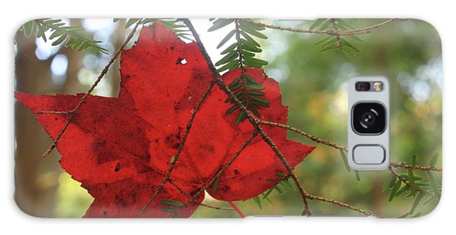 Forest Galaxy S8 Case featuring the photograph Red Maple Leaf On Hemlock by John Burk