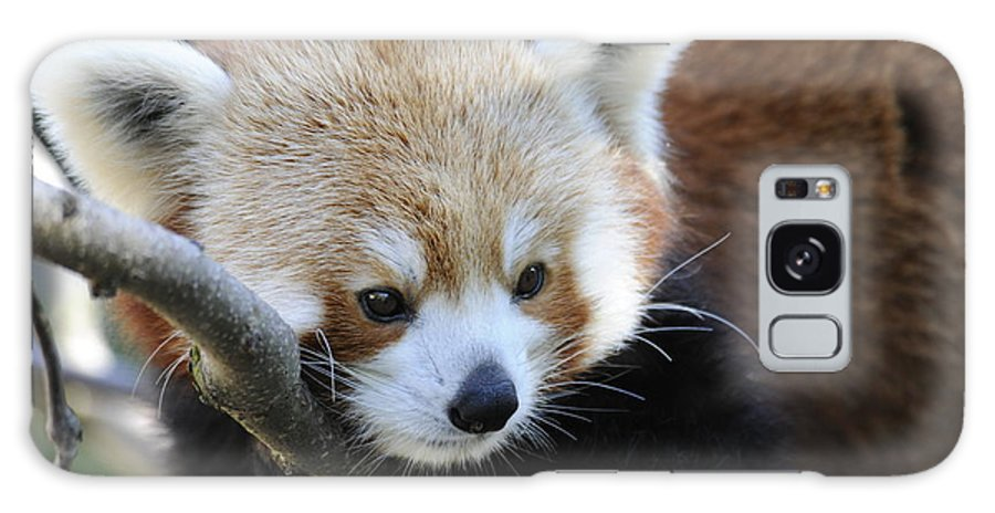 Red Panda Galaxy S8 Case featuring the photograph Red Panda by Keith Lovejoy