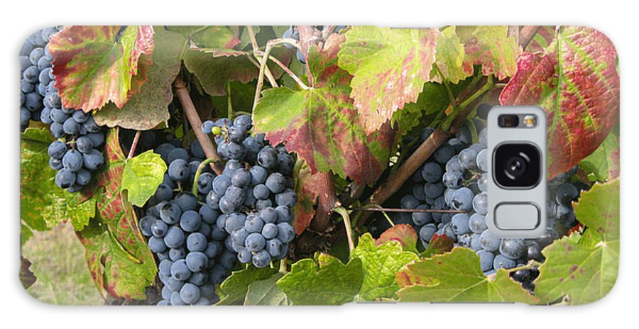 Vineyard Galaxy S8 Case featuring the photograph Ripe On The Vine by Arlene Carmel