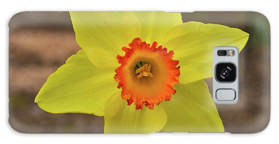 Sunrise Galaxy S8 Case featuring the photograph Sunrise Daffodil by Douglas Barnett