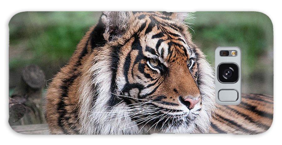 Tiger Galaxy S8 Case featuring the photograph Sumatran Tigress Portrait by Natasha Balletta