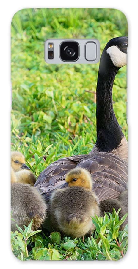 Canada Goose Geese Mother Baby Chick Chicks Huddling Together Warm Warmth Spring Wetlands Green Wildlife Nature Galaxy S8 Case featuring the photograph Togetherness by Patrick Campbell