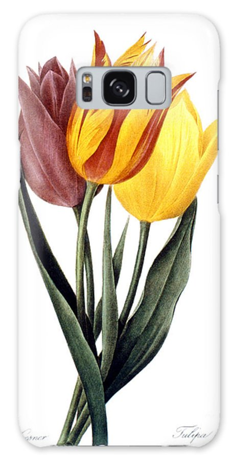 1833 Galaxy S8 Case featuring the photograph Tulip (tulipa Gesneriana) by Granger