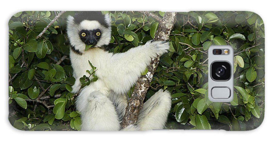 Madagascar Galaxy S8 Case featuring the photograph Verreaux's Sifaka by Michele Burgess