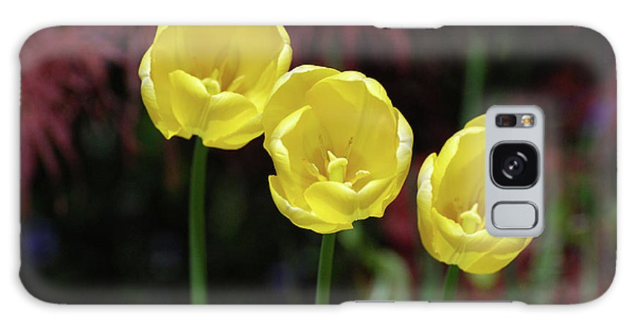 Tulip Galaxy S8 Case featuring the photograph Very Blooming And Flowering Trio Of Yellow Tulips by DejaVu Designs