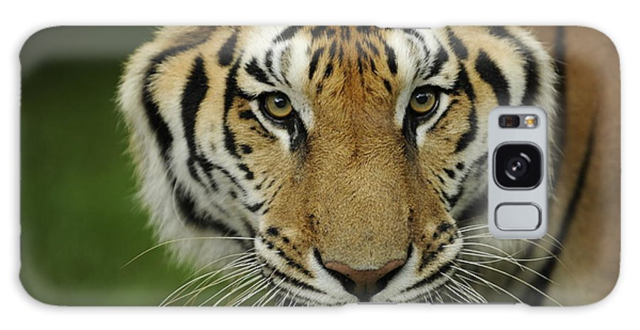 Tiger Galaxy S8 Case featuring the photograph Wanna Play by Keith Lovejoy