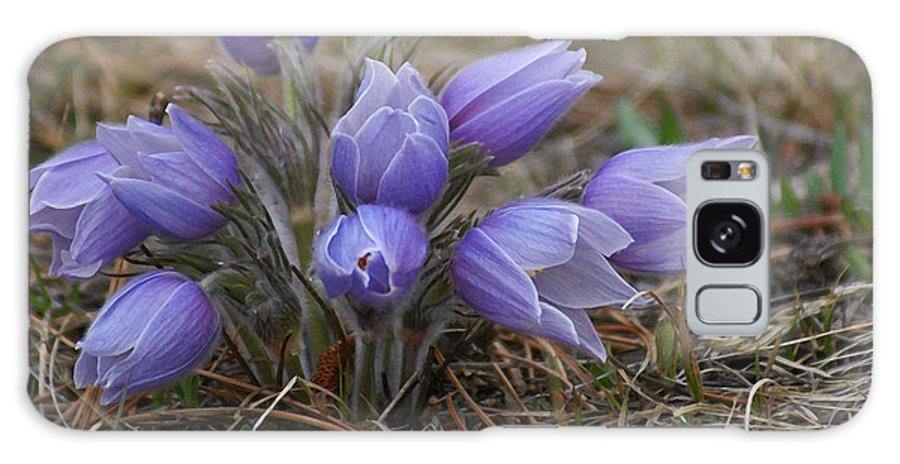 Pasque Flower Galaxy S8 Case featuring the photograph Watercolor Pasque Flowers by Heather Coen