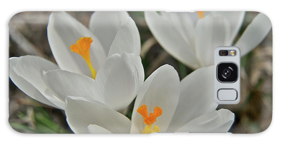 Crocus Galaxy S8 Case featuring the photograph White Croci by Michael Peychich