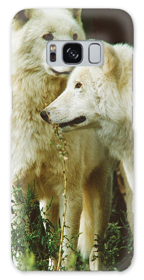Wolves Galaxy S8 Case featuring the photograph White Wolf Pair by Steve Somerville