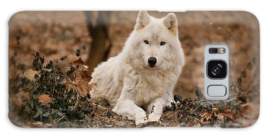 Wolf Galaxy S8 Case featuring the photograph White Wolf by Sandy Keeton