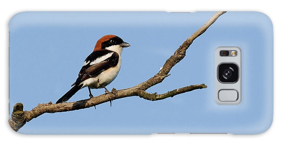 Woodchats Galaxy S8 Case featuring the photograph Woodchat Shrike by Cliff Norton