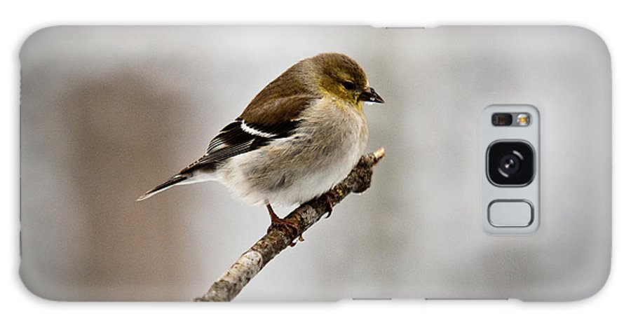 Cove Galaxy S8 Case featuring the photograph Young American Golden Finch 1 by Douglas Barnett