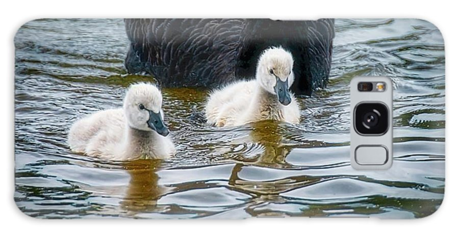 Black Swan Cygnets Galaxy Case featuring the photograph Young 'uns, Black Swan Cygnets by Zayne Diamond Photographic