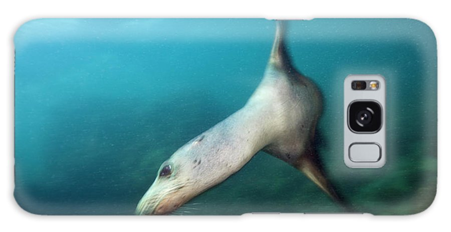 California Sea Lion Galaxy Case featuring the photograph California Sea Lion by Reinhard Dirscherl/science Photo Library