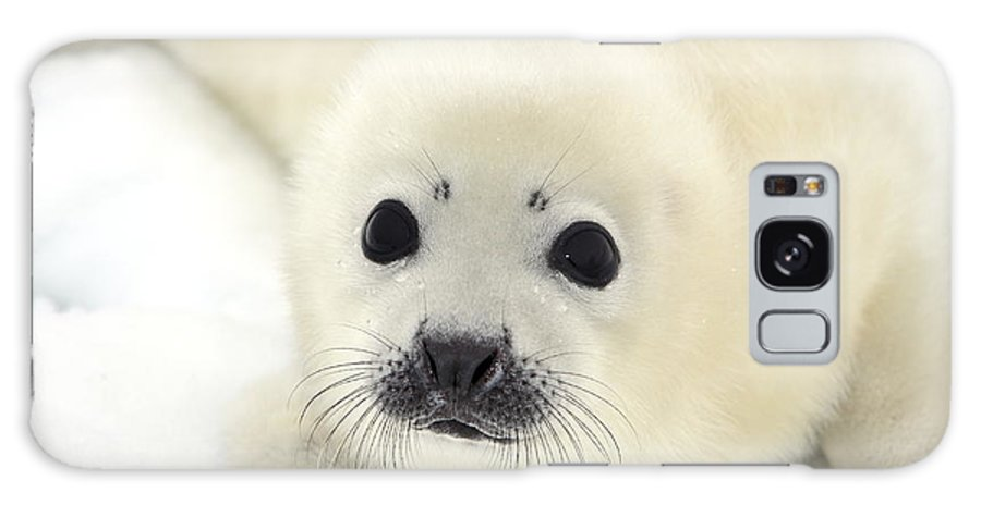 Fur Galaxy Case featuring the photograph Baby Harp Seal Pup On Ice Of The White by Vladimir Melnik