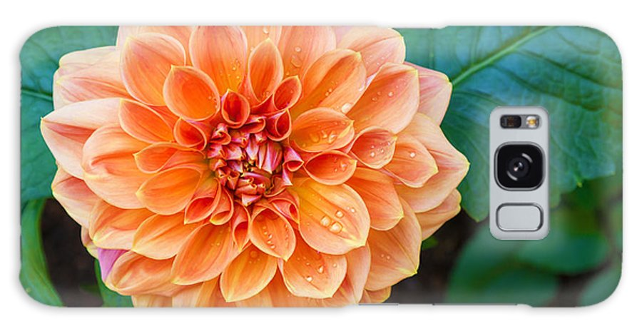 Drop Galaxy Case featuring the photograph Beautiful Dahlia Flower And Water Drop by Luckypic